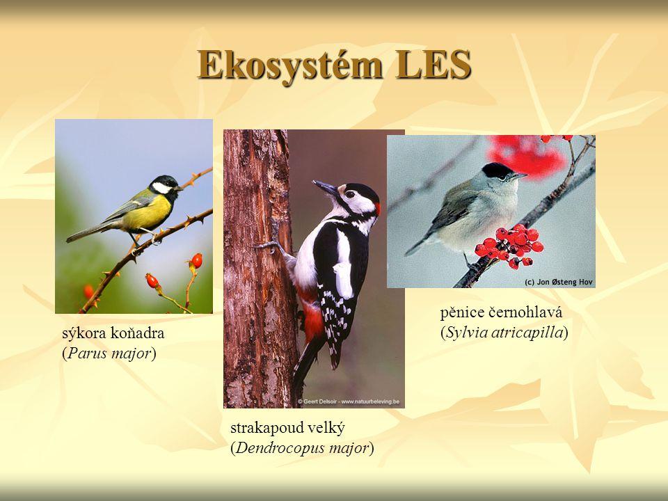Ekosystém LES pěnice černohlavá (Sylvia atricapilla)