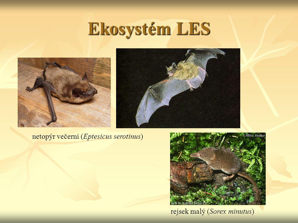 Ekosystém LES netopýr večerní (Eptesicus serotinus)