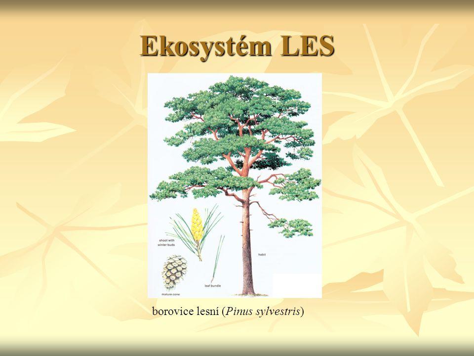 Ekosystém LES borovice lesní (Pinus sylvestris)