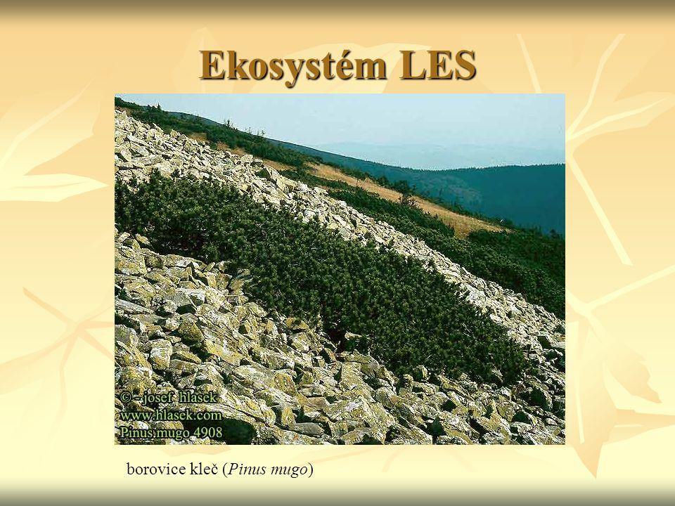 Ekosystém LES borovice kleč (Pinus mugo)