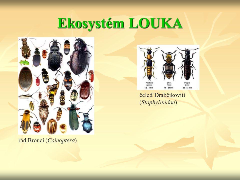 Ekosystém LOUKA čeleď Drabčíkovití (Staphylinidae)