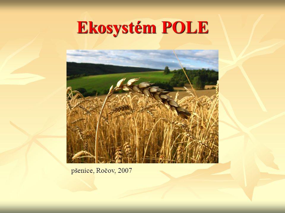 Ekosystém POLE pšenice, Ročov, 2007