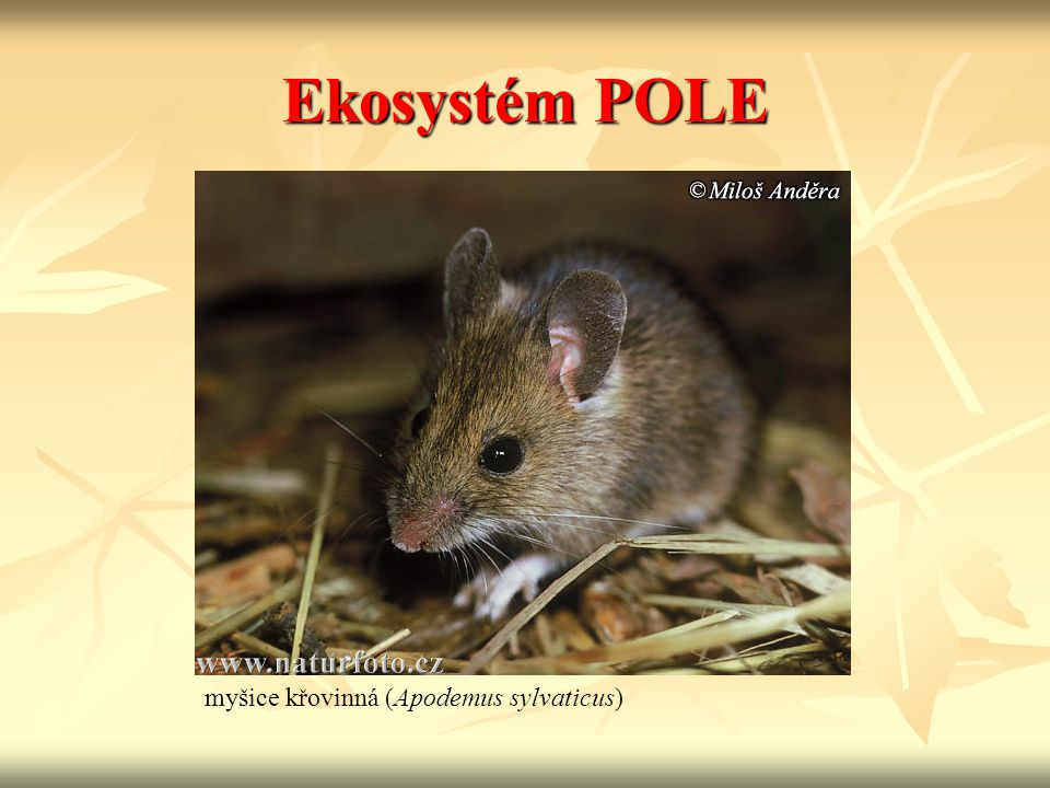 Ekosystém POLE myšice křovinná (Apodemus sylvaticus)