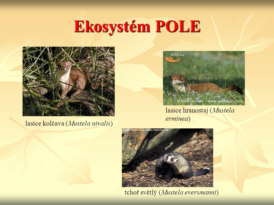 Ekosystém POLE lasice hranostaj (Mustela erminea)