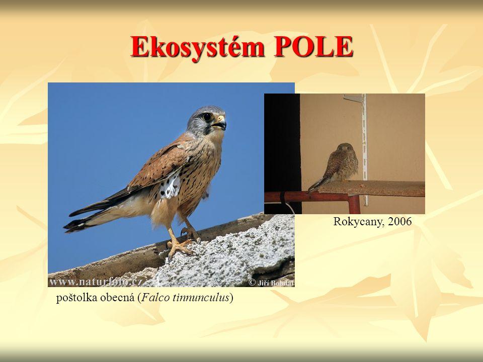 Ekosystém POLE Rokycany, 2006 poštolka obecná (Falco tinnunculus)