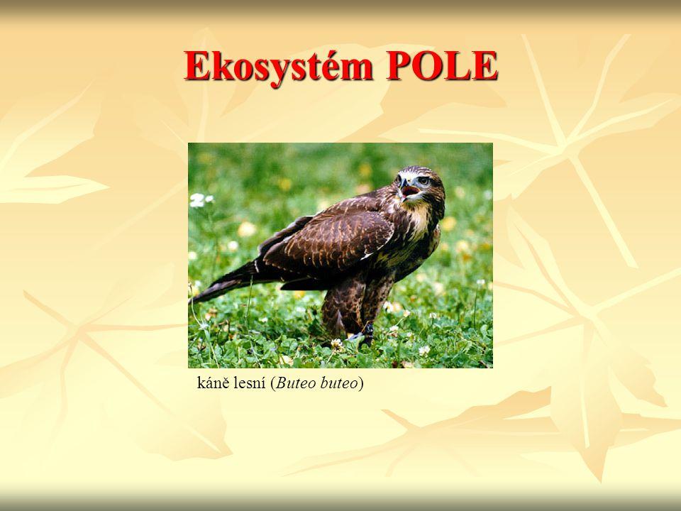Ekosystém POLE káně lesní (Buteo buteo)