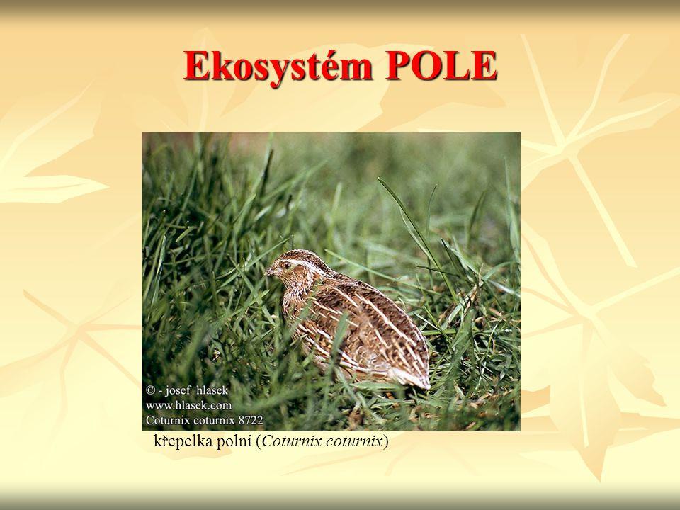 Ekosystém POLE křepelka polní (Coturnix coturnix)