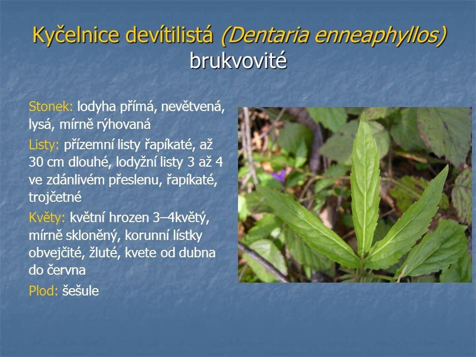 Kyčelnice devítilistá (Dentaria enneaphyllos) brukvovité
