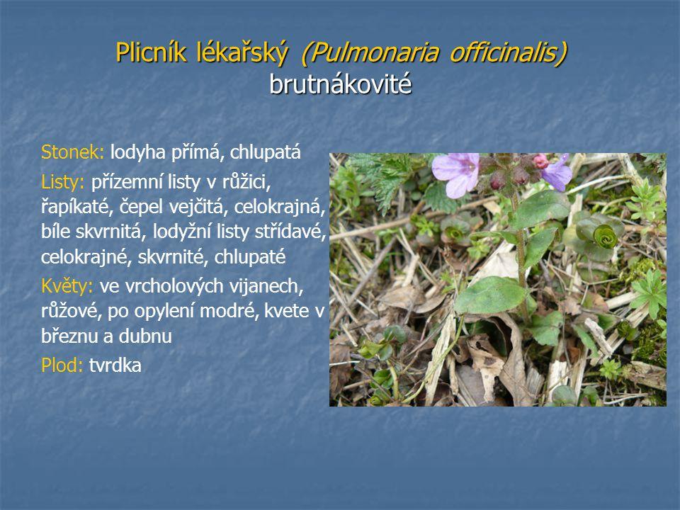 Plicník lékařský (Pulmonaria officinalis) brutnákovité