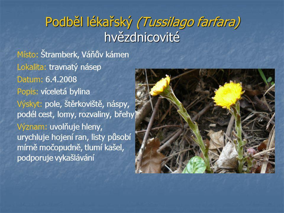 Podběl lékařský (Tussilago farfara) hvězdnicovité