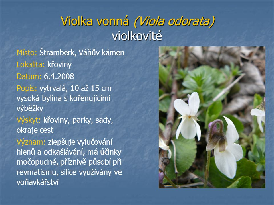 Violka vonná (Viola odorata) violkovité