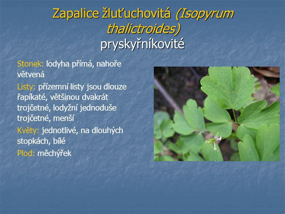Zapalice žluťuchovitá (Isopyrum thalictroides) pryskyřníkovité