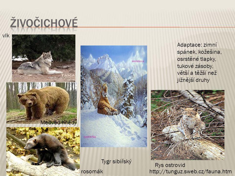 živočichové vlk. Adaptace: zimní spánek, kožešina, osrstěné tlapky, tukové zásoby, větší a těžší než jižnější druhy.
