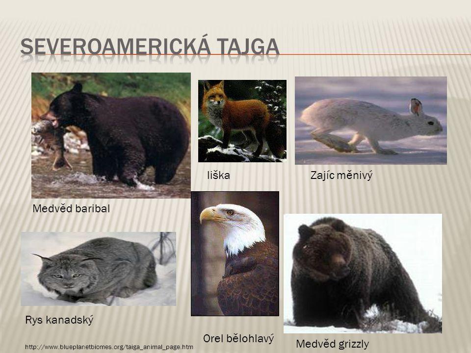 Severoamerická tajga liška Zajíc měnivý Medvěd baribal Rys kanadský