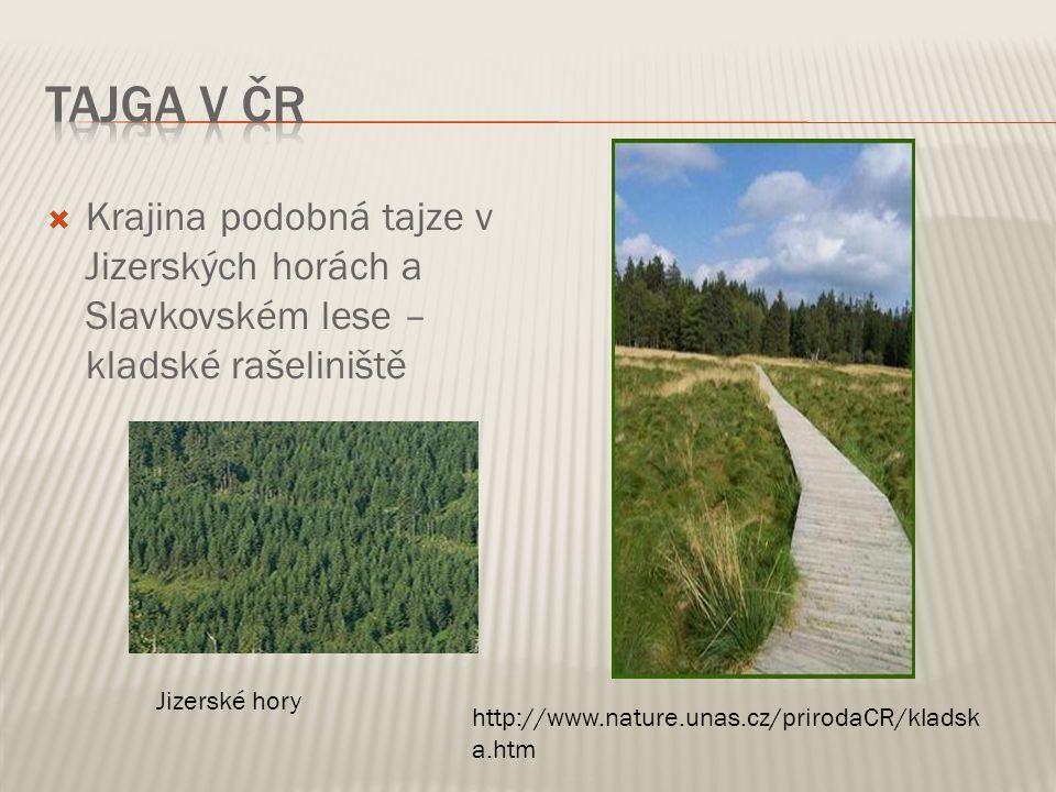 Tajga v ČR Krajina podobná tajze v Jizerských horách a Slavkovském lese – kladské rašeliniště. Jizerské hory.