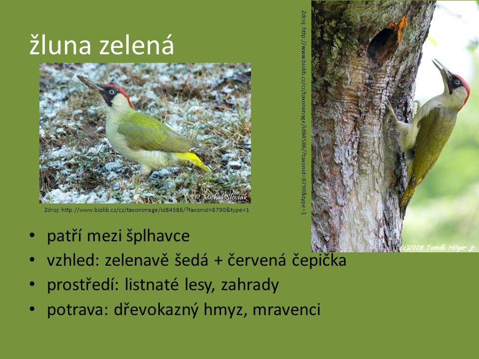 žluna zelená patří mezi šplhavce