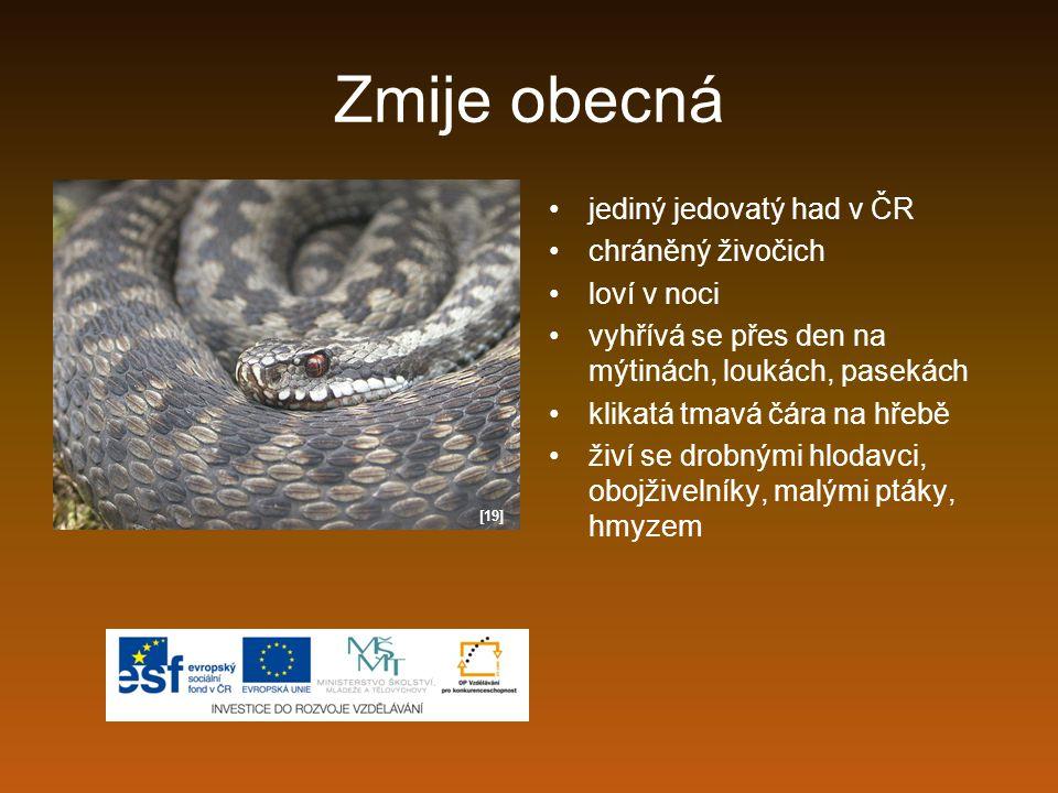 Zmije obecná jediný jedovatý had v ČR chráněný živočich loví v noci
