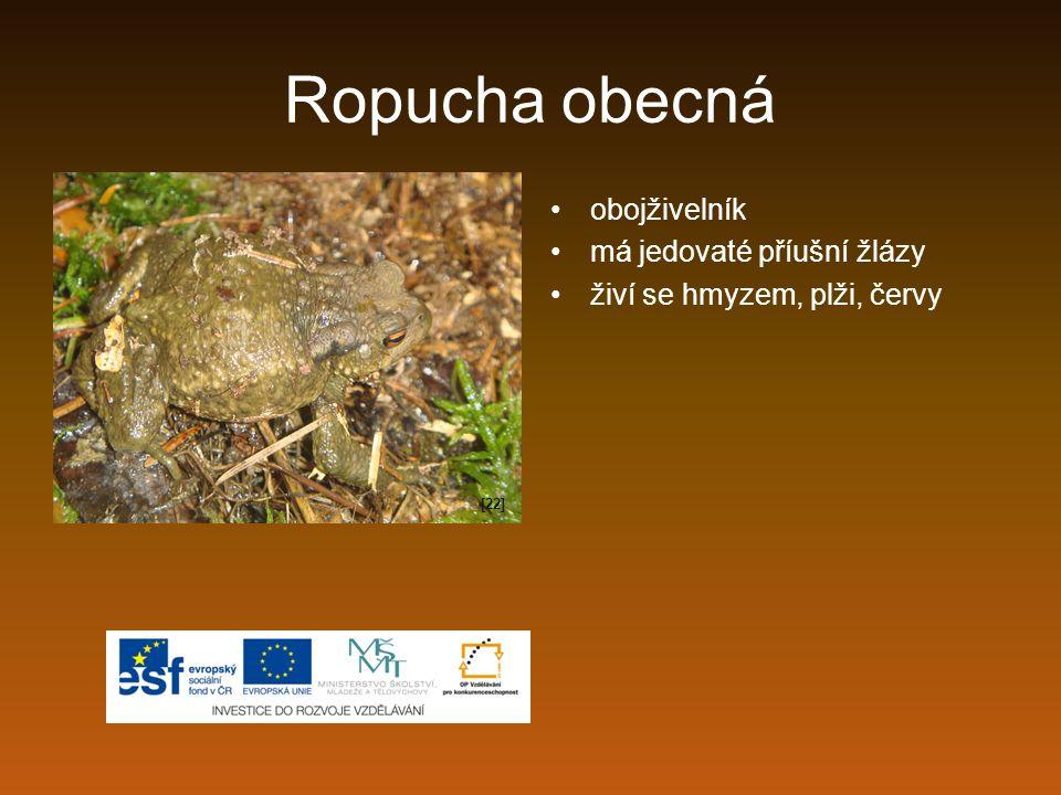 Ropucha obecná obojživelník má jedovaté příušní žlázy