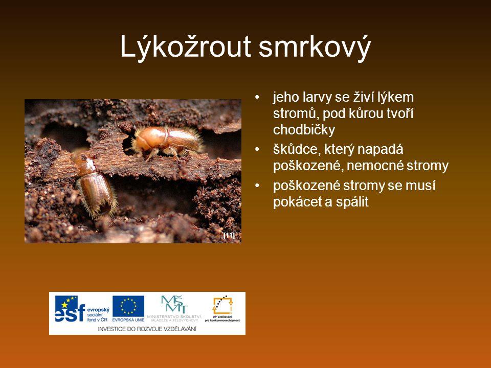 Lýkožrout smrkový jeho larvy se živí lýkem stromů, pod kůrou tvoří chodbičky. škůdce, který napadá poškozené, nemocné stromy.