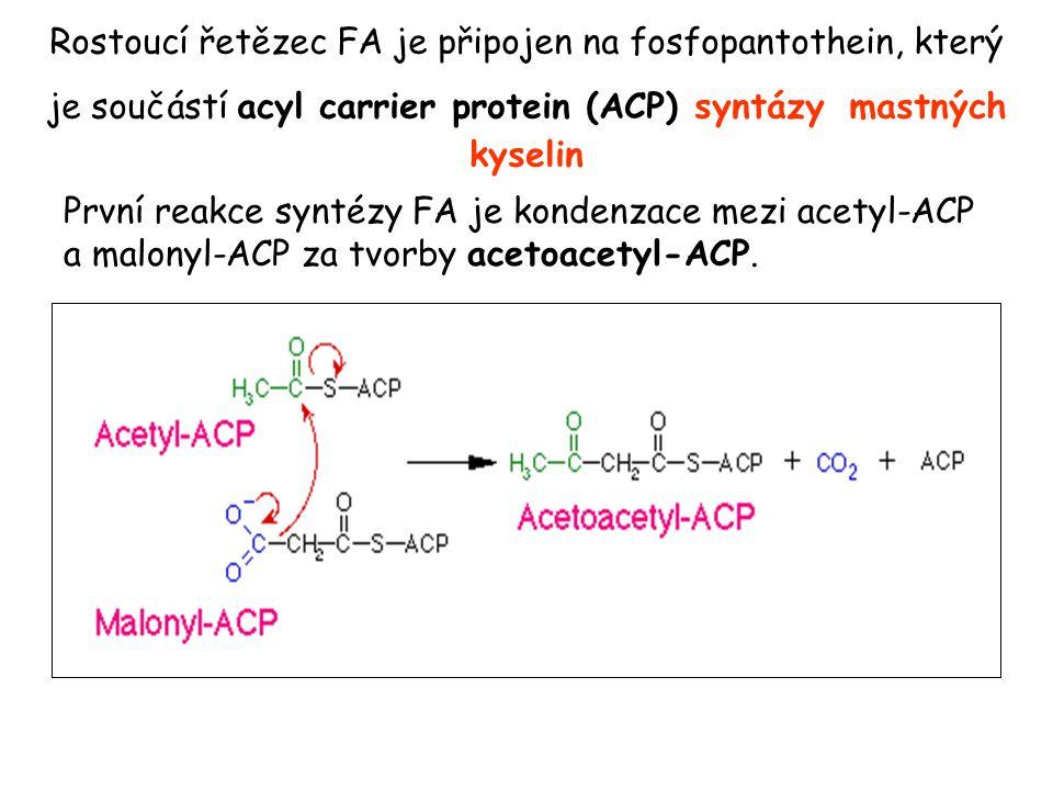 Rostoucí řetězec FA je připojen na fosfopantothein, který je součástí acyl carrier protein (ACP) syntázy mastných kyselin