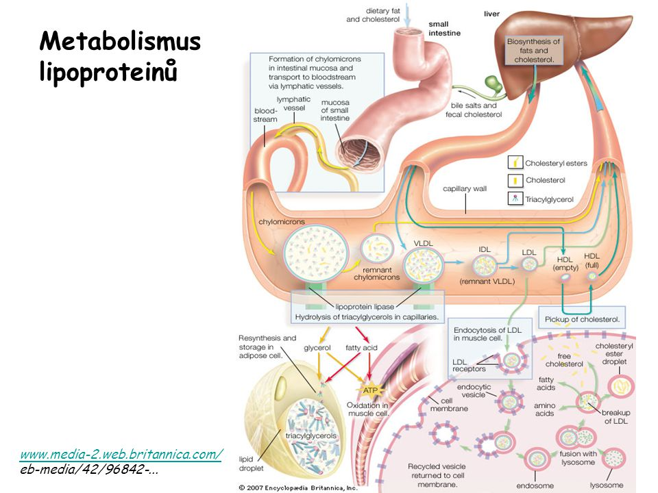 Metabolismus lipoproteinů www.media-2.web.britannica.com/