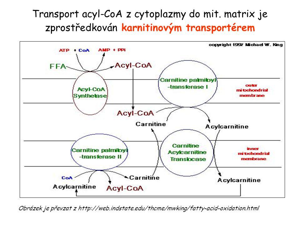 Transport acyl-CoA z cytoplazmy do mit