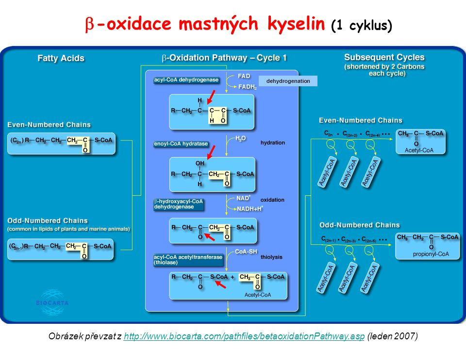 -oxidace mastných kyselin (1 cyklus)