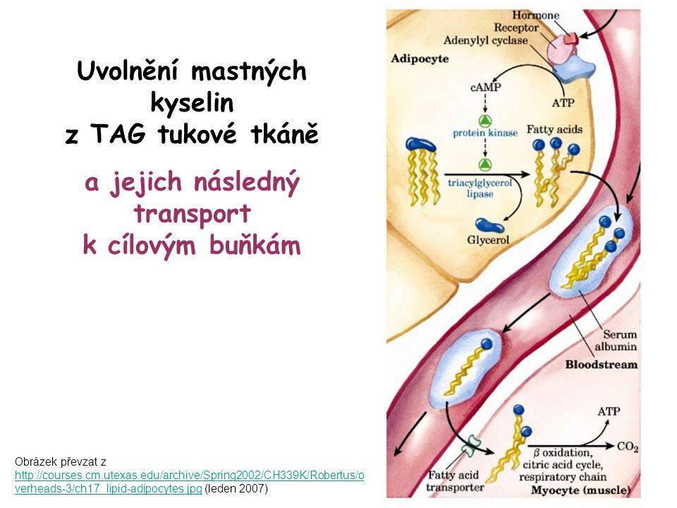 Uvolnění mastných kyselin z TAG tukové tkáně