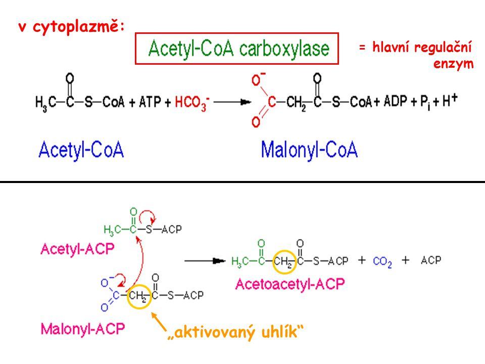 """v cytoplazmě: = hlavní regulační enzym """"aktivovaný uhlík"""