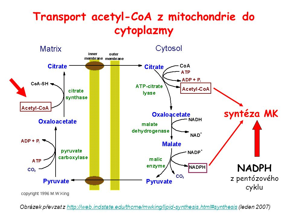 Transport acetyl-CoA z mitochondrie do cytoplazmy