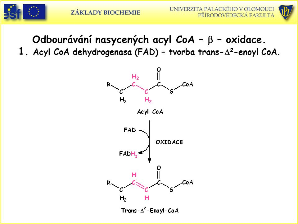 Odbourávání nasycených acyl CoA – b – oxidace. 1