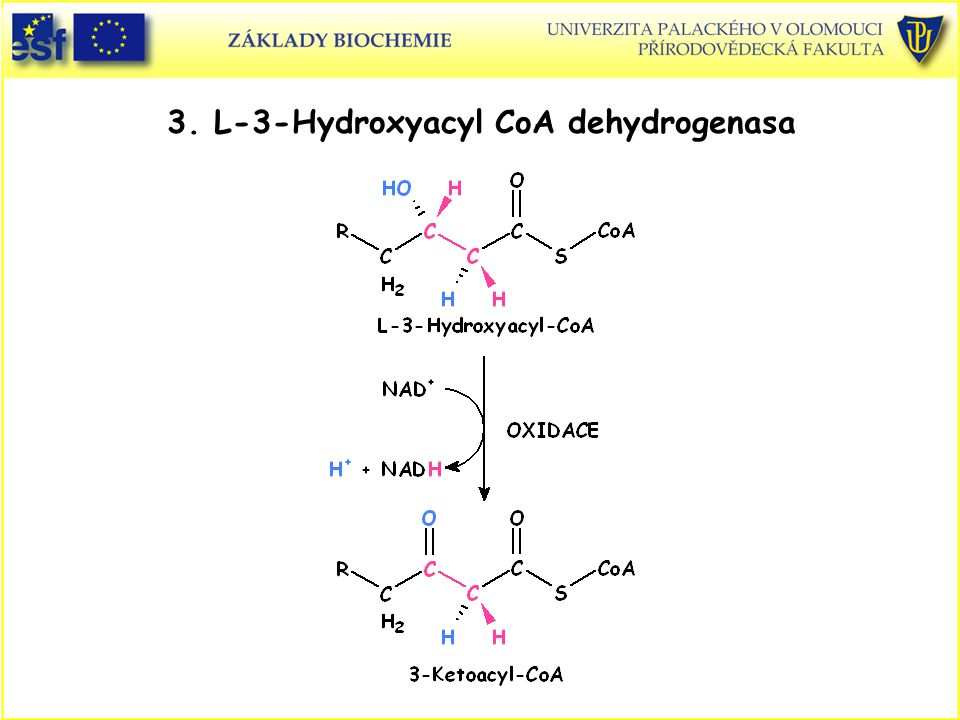 3. L-3-Hydroxyacyl CoA dehydrogenasa