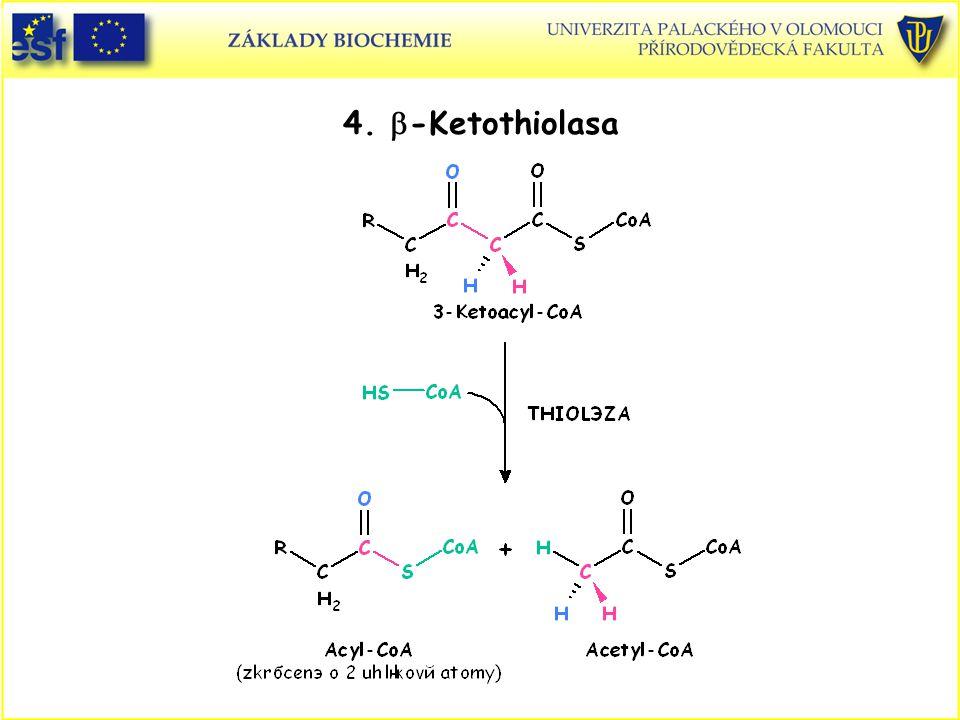 4. b-Ketothiolasa