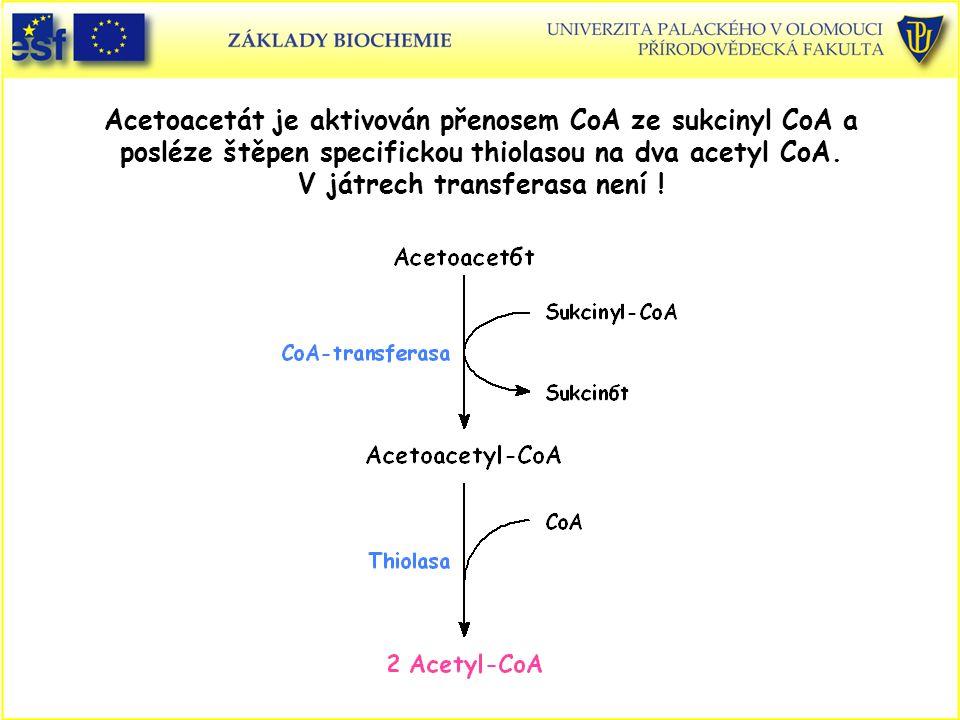 Acetoacetát je aktivován přenosem CoA ze sukcinyl CoA a posléze štěpen specifickou thiolasou na dva acetyl CoA.