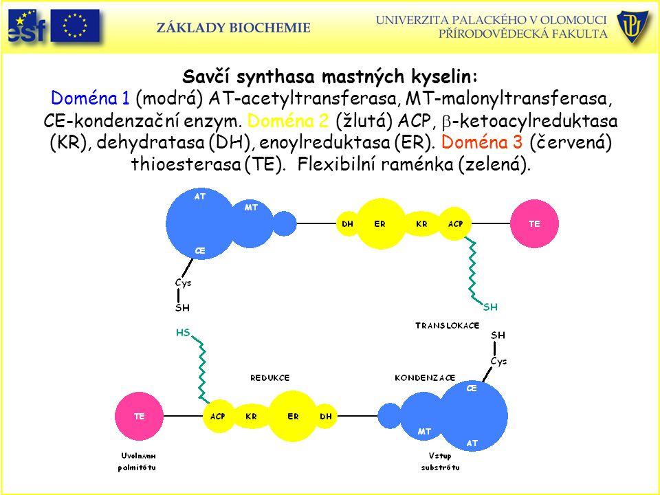 Savčí synthasa mastných kyselin: Doména 1 (modrá) AT-acetyltransferasa, MT-malonyltransferasa, CE-kondenzační enzym.
