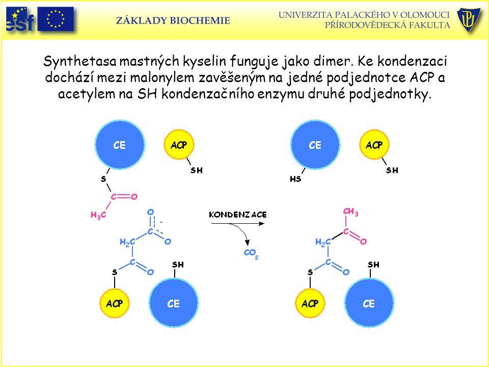 Synthetasa mastných kyselin funguje jako dimer
