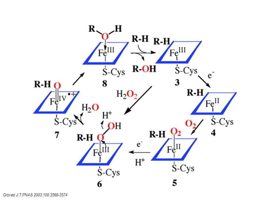 Mechanizmus interakce a zapojení kyslíku do oxidace xenobiotika v aktivním místě cytochromu.