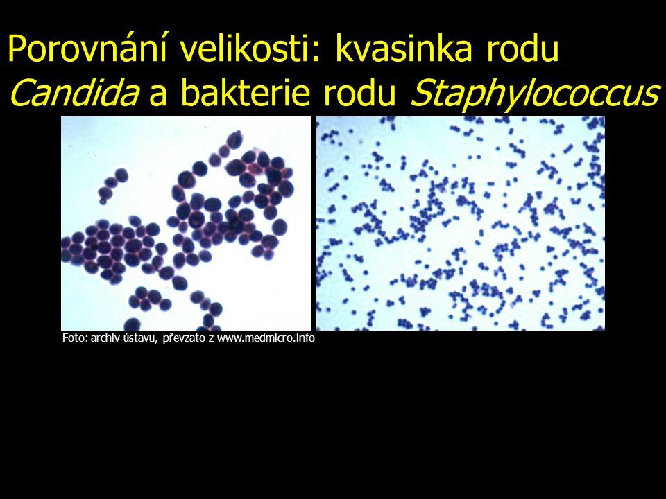 Porovnání velikosti: kvasinka rodu Candida a bakterie rodu Staphylococcus