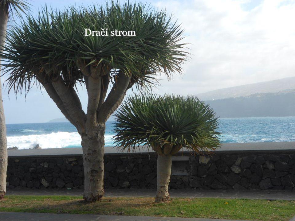Dračí strom