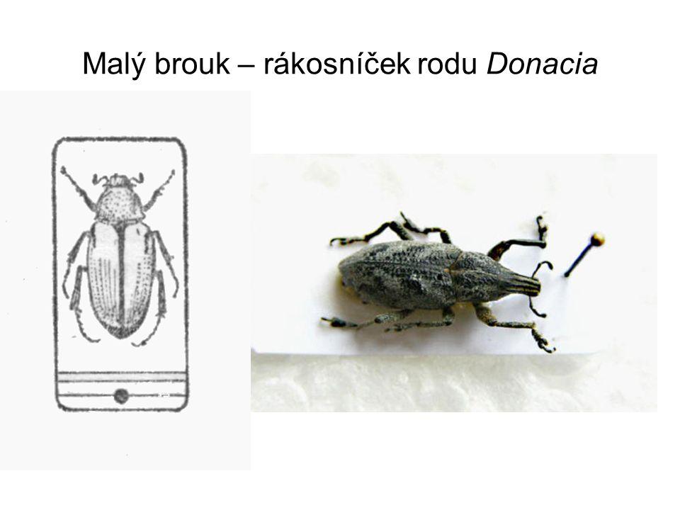 Malý brouk – rákosníček rodu Donacia