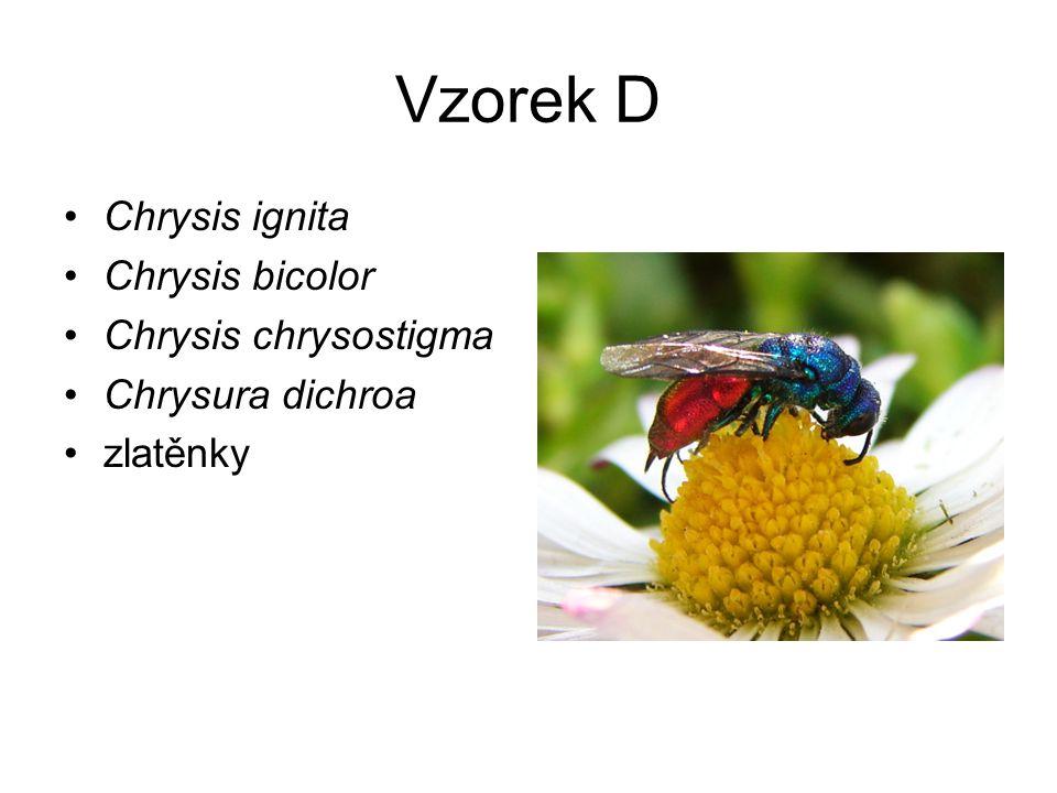 Vzorek D Chrysis ignita Chrysis bicolor Chrysis chrysostigma