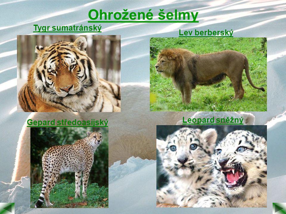 Ohrožené šelmy Tygr sumatránský Lev berberský Leopard sněžný