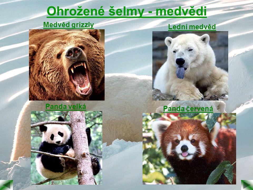 Ohrožené šelmy - medvědi
