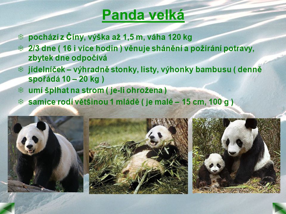 Panda velká pochází z Číny, výška až 1,5 m, váha 120 kg