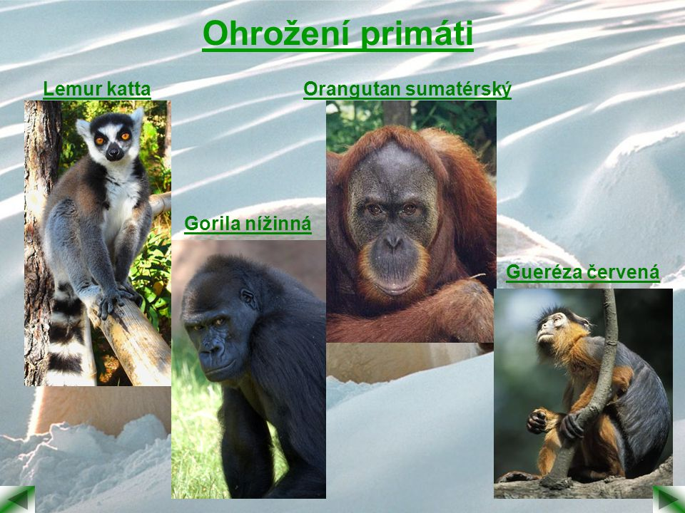 Ohrožení primáti Lemur katta Orangutan sumatérský Gorila nížinná