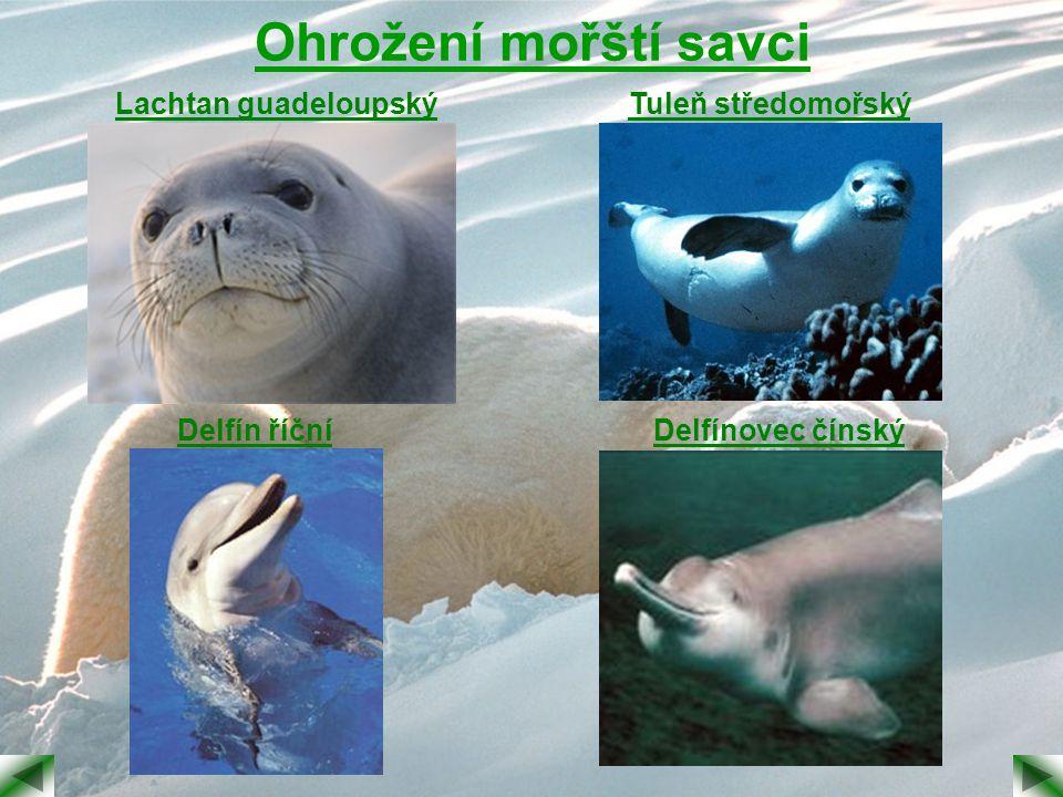 Ohrožení mořští savci Lachtan guadeloupský Tuleň středomořský