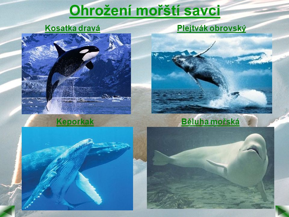 Ohrožení mořští savci Kosatka dravá Plejtvák obrovský Keporkak