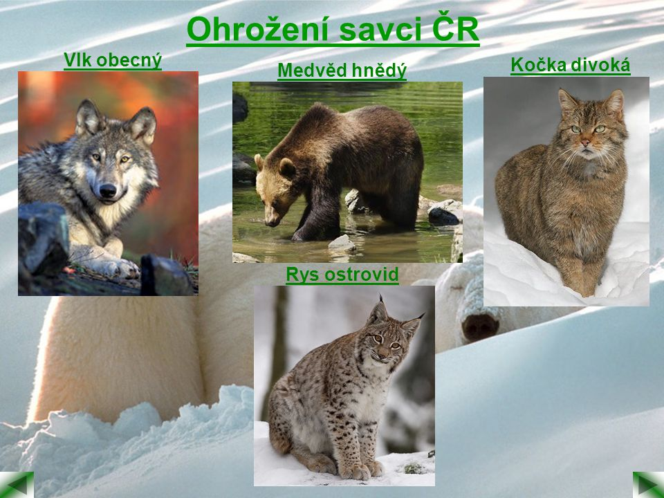 Ohrožení savci ČR Vlk obecný Kočka divoká Medvěd hnědý Rys ostrovid