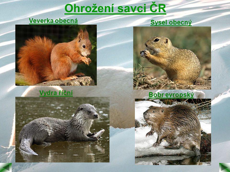 Ohrožení savci ČR Veverka obecná Sysel obecný Vydra říční
