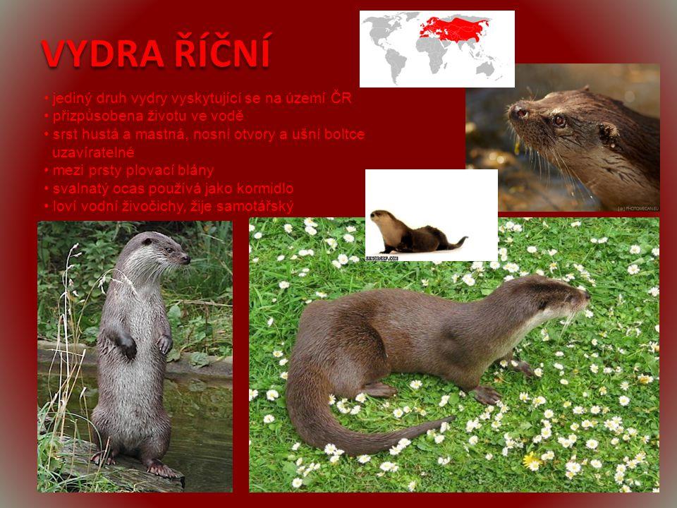 VYDRA ŘÍČNÍ • jediný druh vydry vyskytující se na území ČR